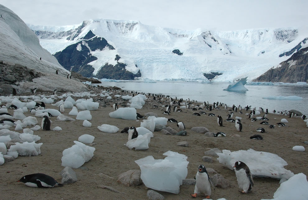 Antarctica- Emperor penguins at Neko Harbour