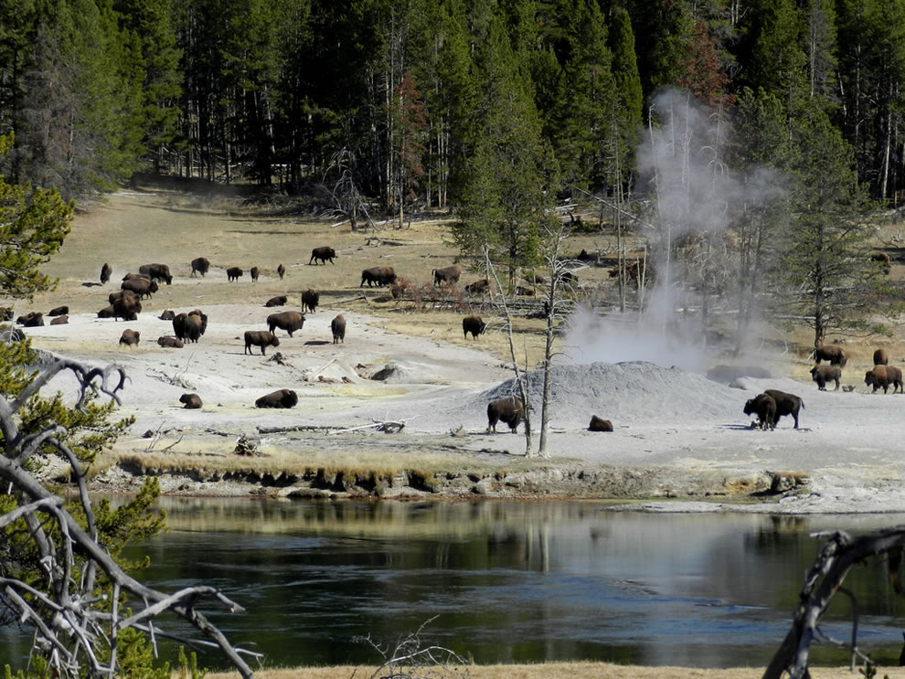 Bison near Mud Volcano