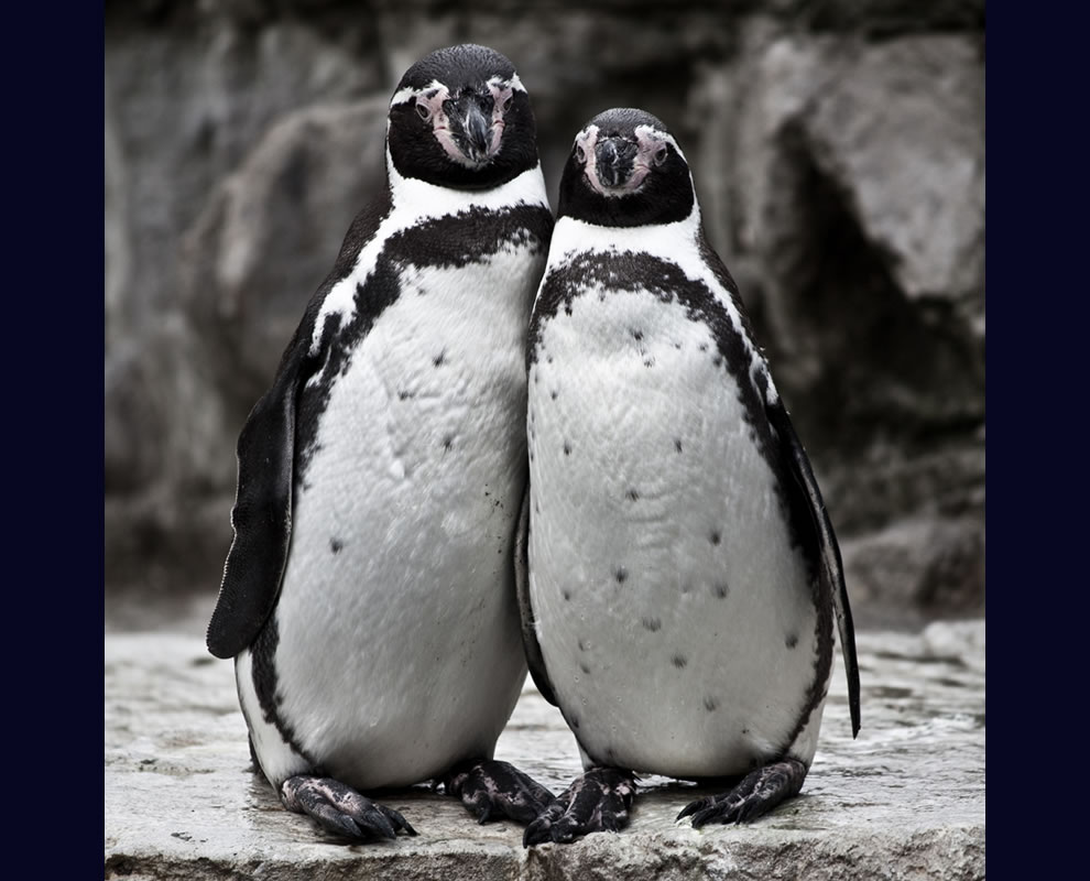 Cute Humboldt penguin couple