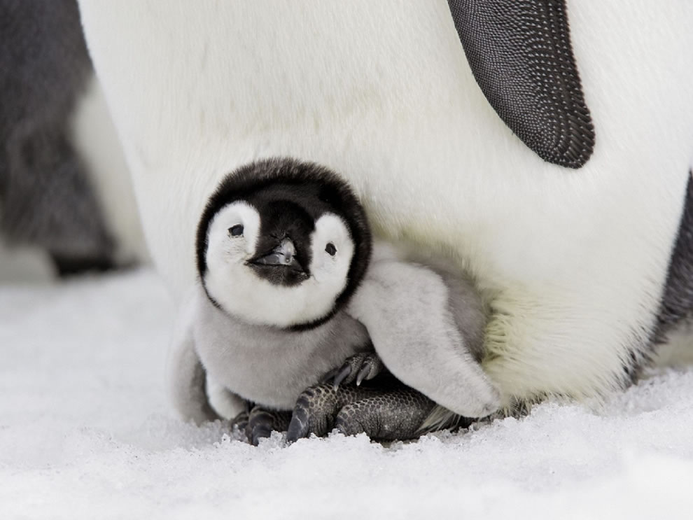 Emperor Penguin Chick, Snow Hill Island, Antarctica