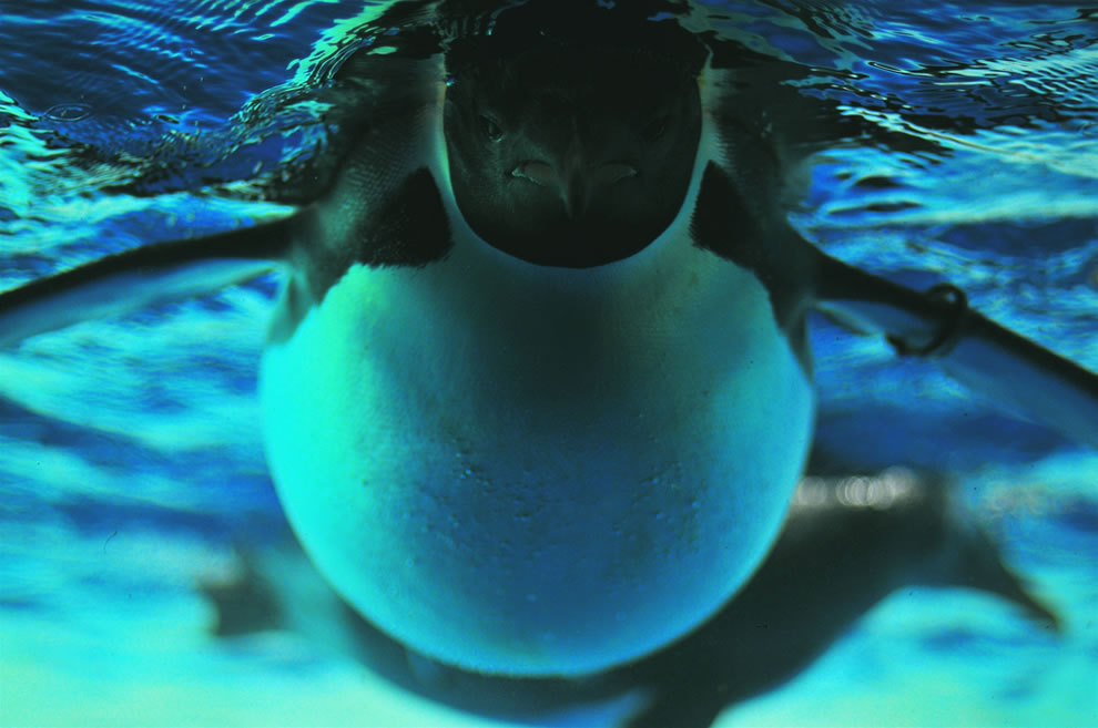 Emperor Penguin underwater, swimming. Emperor are the largest of the ...