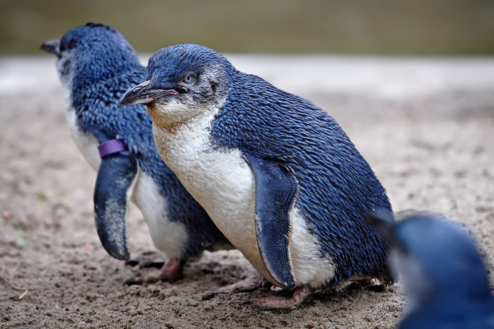 Fairy Penguins in Melbourne Zoo, inspiration for Linux mascot Tux
