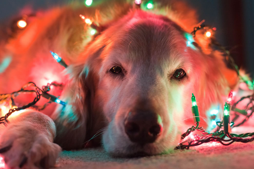 Gracie, the festive Christmas puppy in Christmas lights