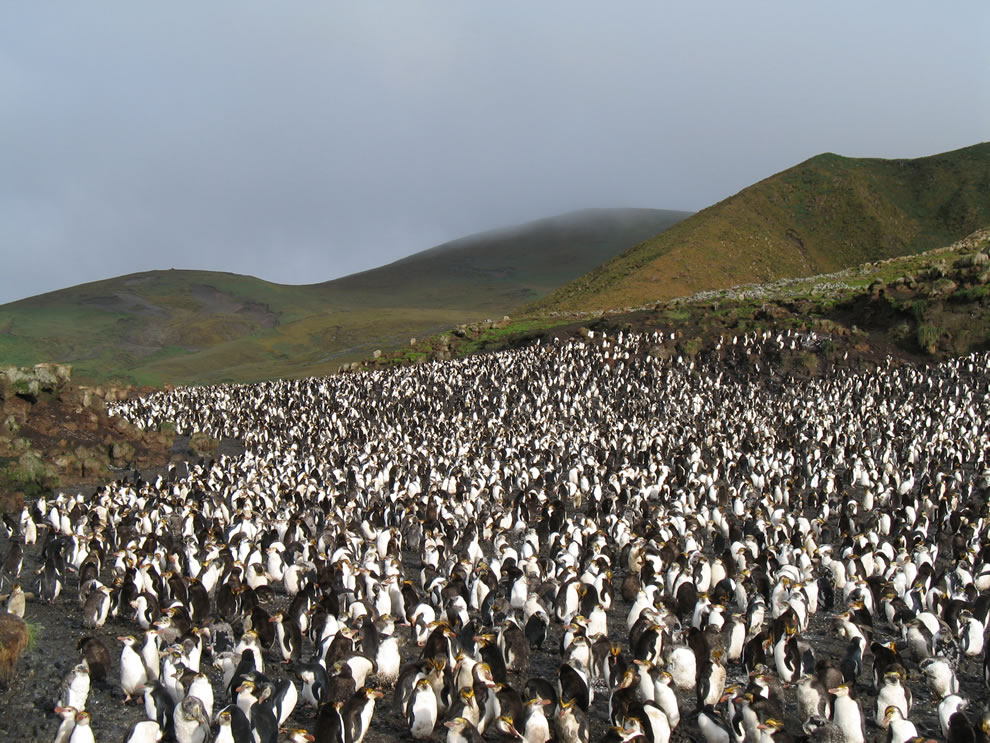 Macquarie Island - Royal penguin rookery