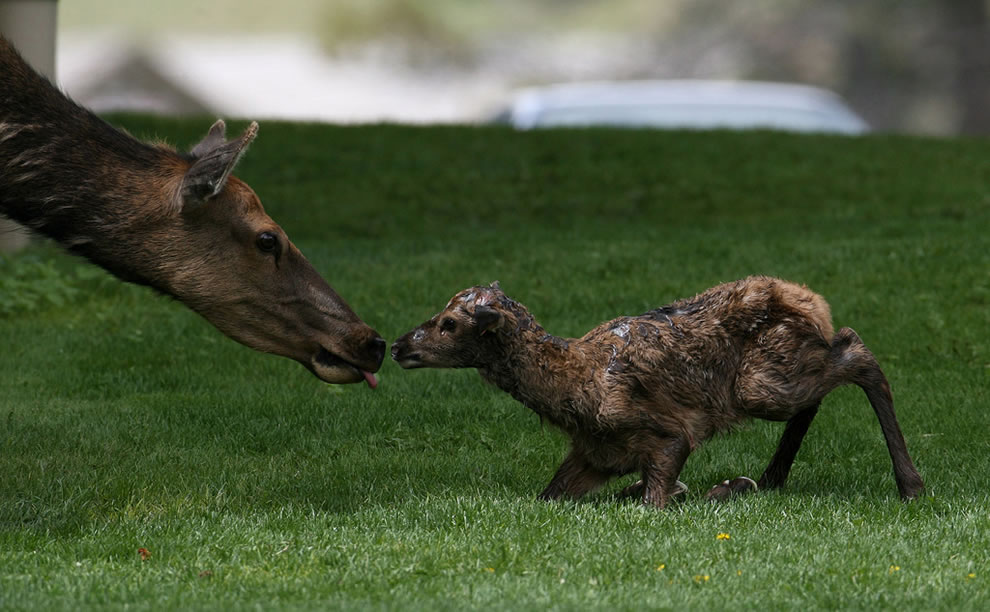 Newborn elk at Yellowstone National Park