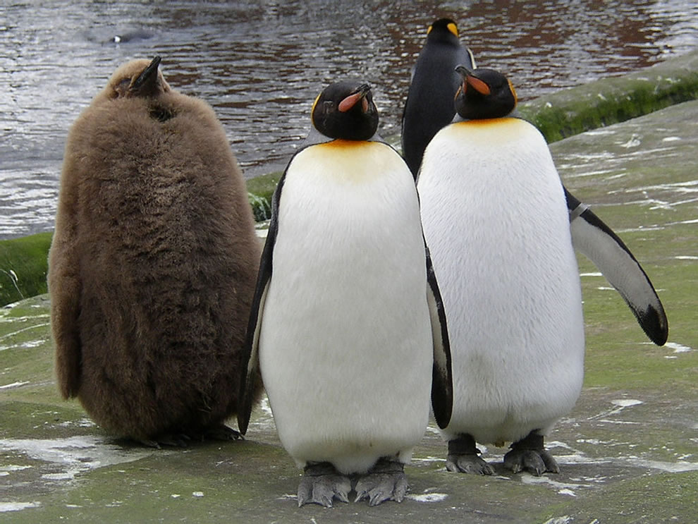 penguins things quite same penguin others endangered incredibly animal animals cutest king species cuteness aptenodytes patagonicus adults brown chick morris