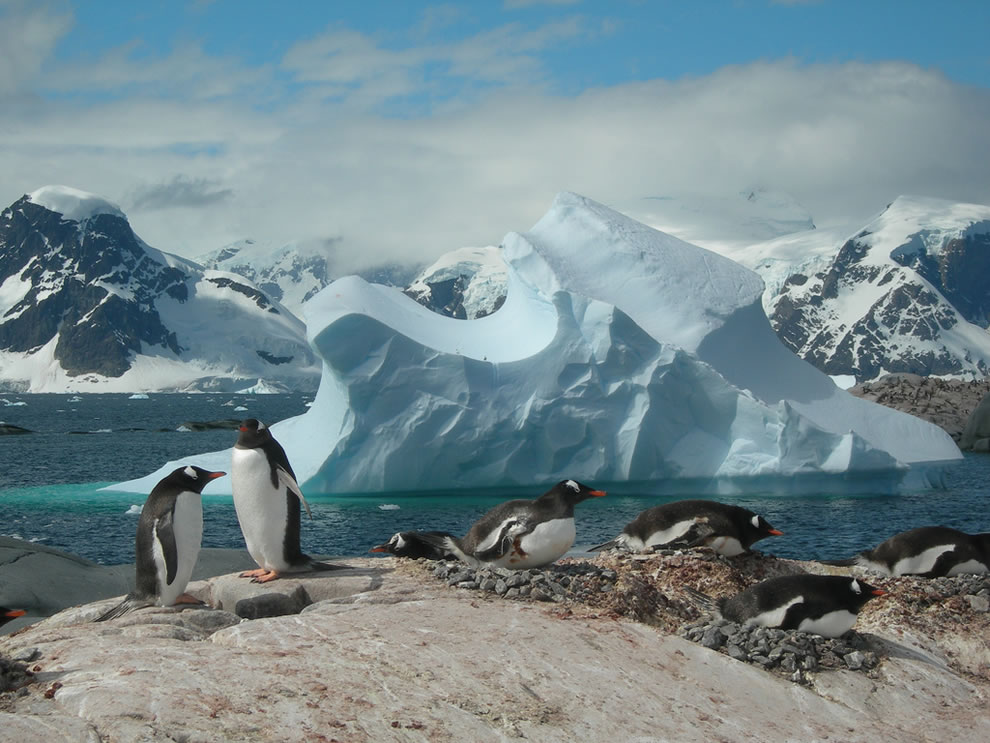 Puzzle Piece Closer, Gentoo penguins on an iceberg