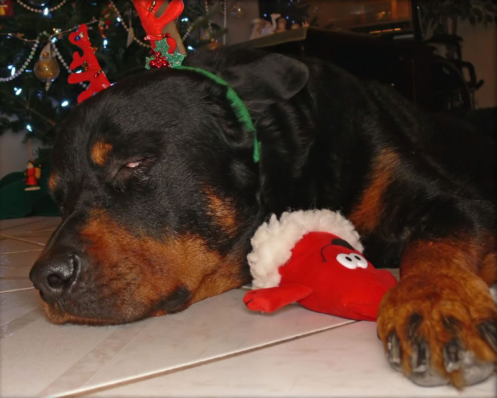 Rotties are big, mean, tough, guard dogs....or not