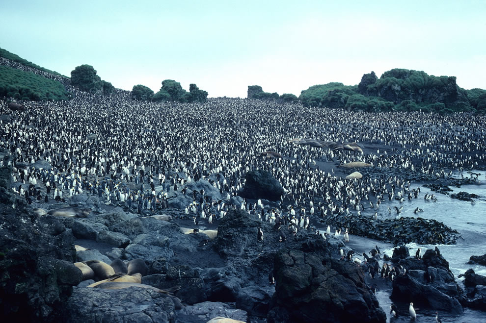 Royal Penguin colony close up. Hurd Pt., Macquarie I., Australia