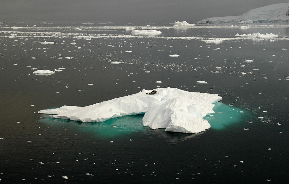 Seal on an iceberg at Gerlache strait