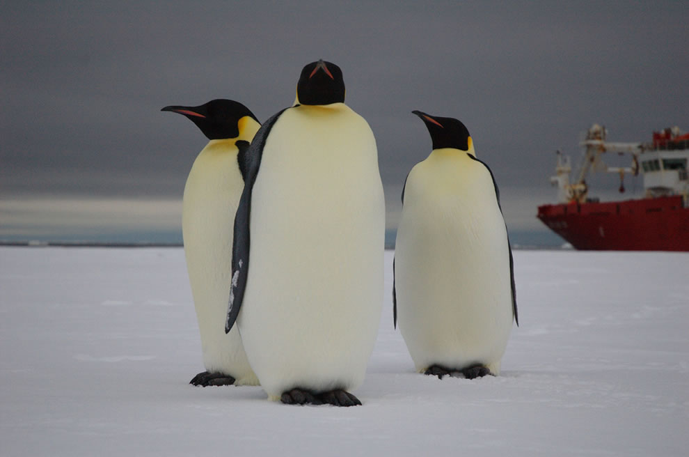 three emperor penguins