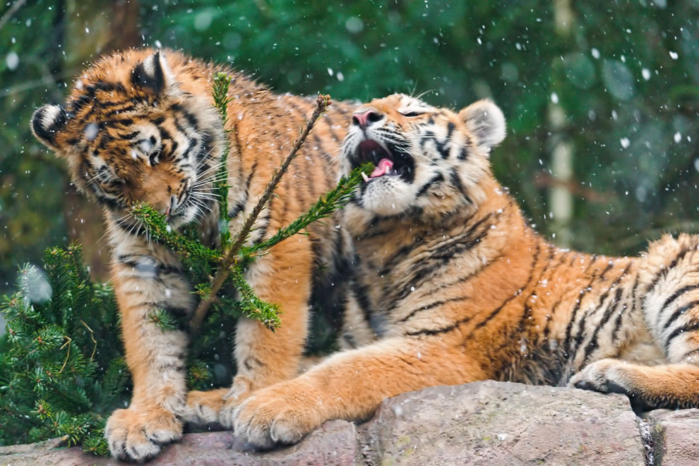 Two tiger cubs playing with the remains of a Chrismas tree