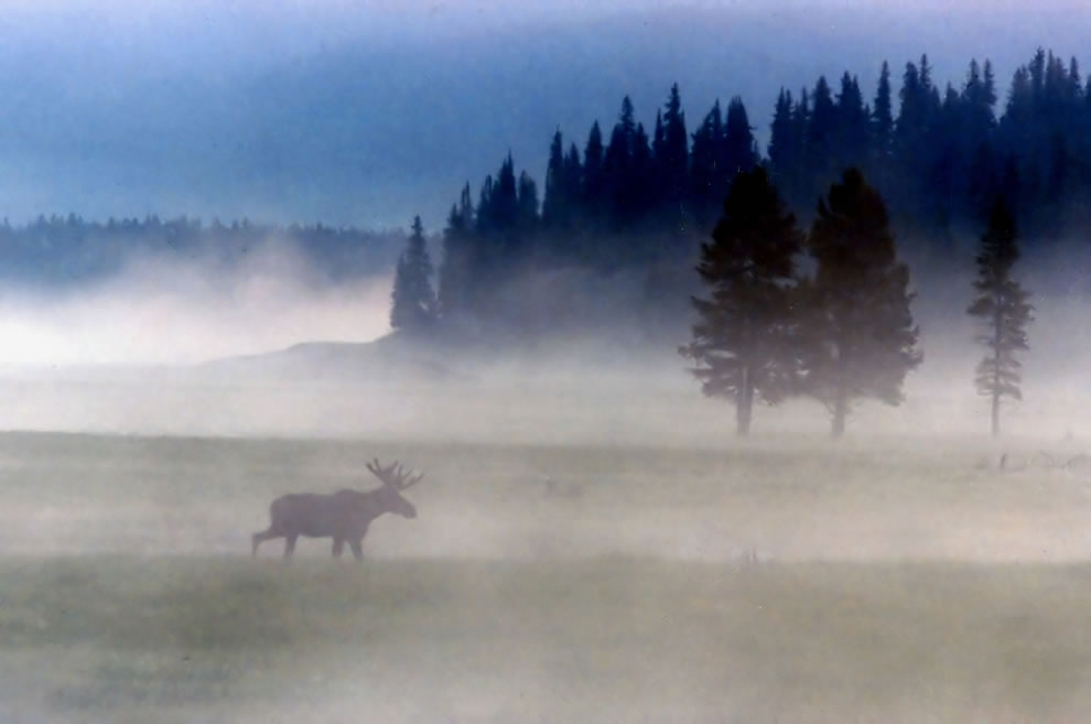 Yellowstone National Park, moose wandering in the mist during wee hours of the morning