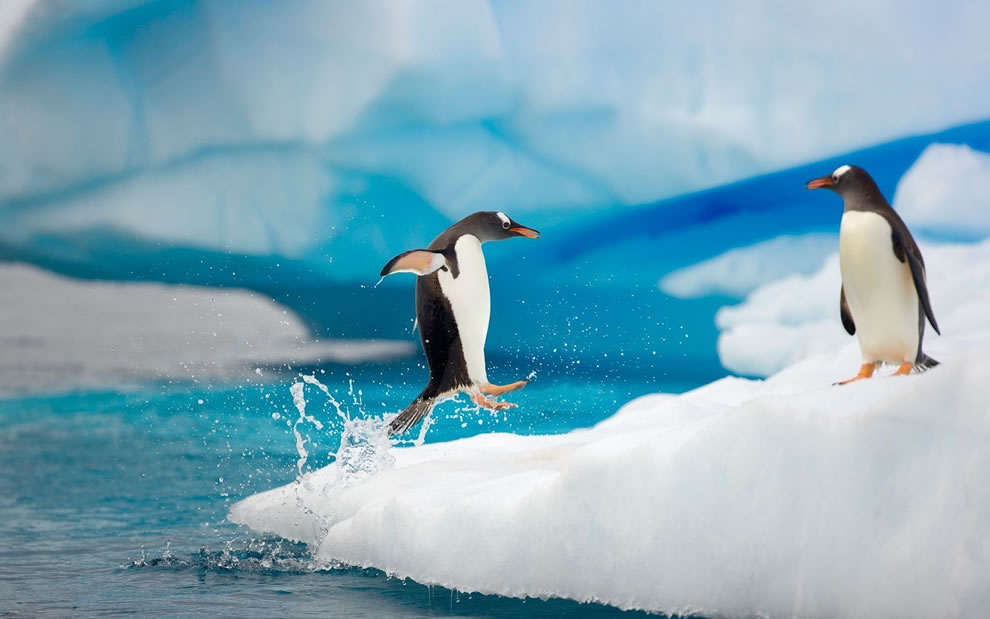penguin running, jumping on ice from frigid water