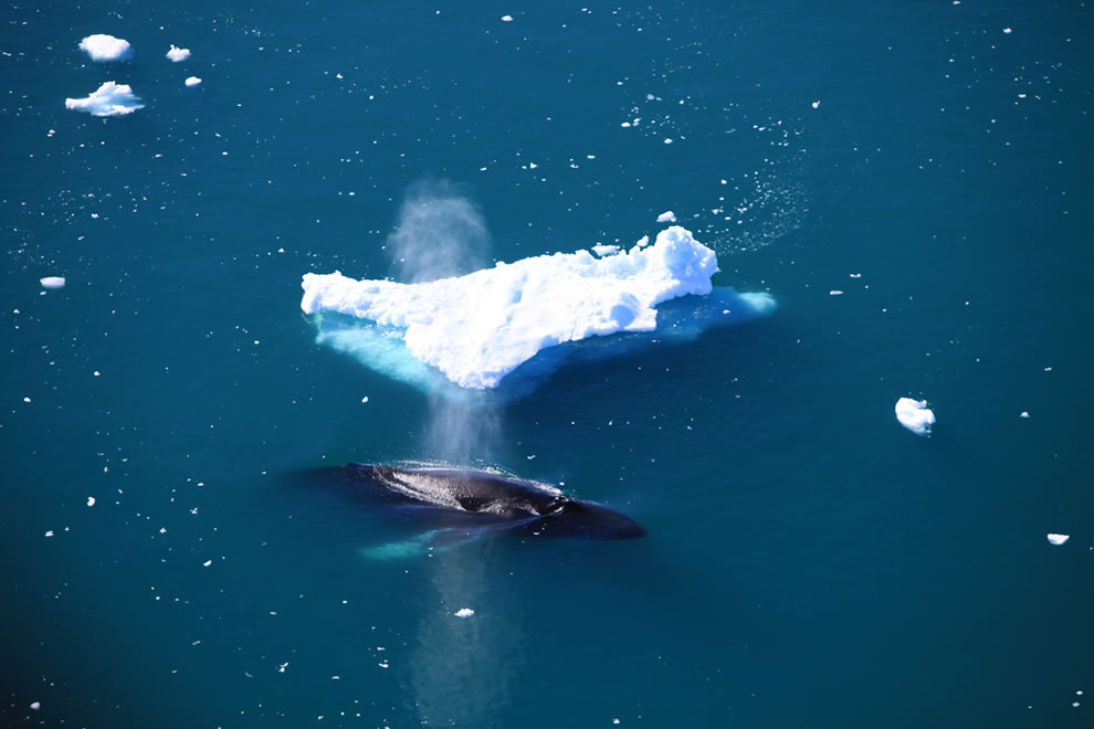 Aerial of humpback whale blowing next to iceberg in Greenland