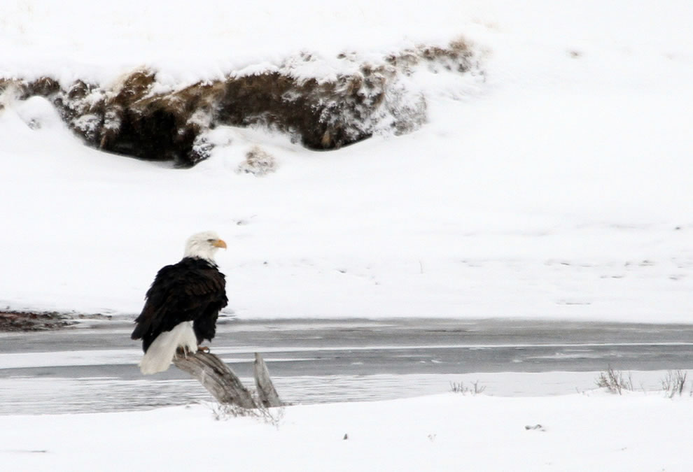Bald eagle along the Yellowstone River in Hayden Valley