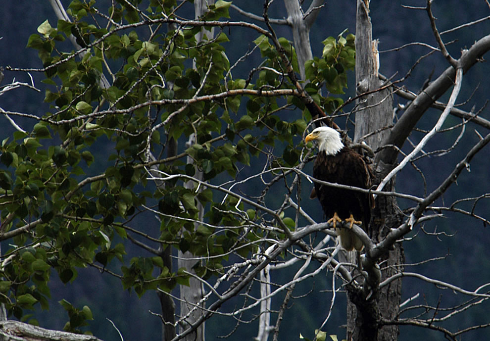 Bald eagle in a tree at Glacier Bay National Park & Preserve
