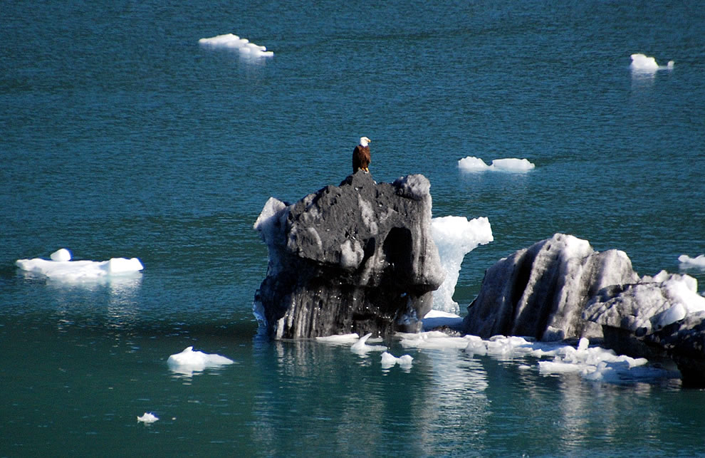 Bald eagle on iceberg