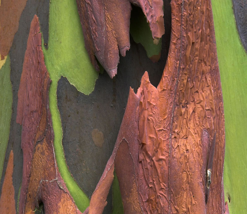 Bark from a rainbow eucalyptus ... possibly one of the coolest trees on earth