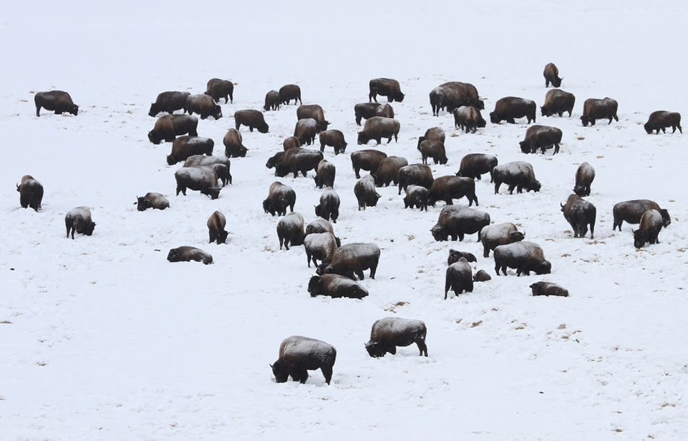 Bison grazing in snow covered Hayden Valley