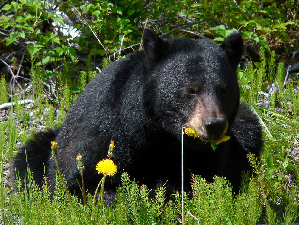 Black bear feasting on dandelions at Glacier Bay National Park and Preserve