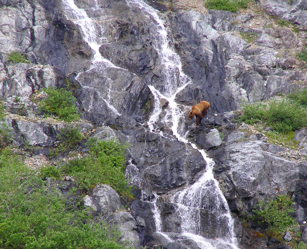 Brown bear in waterfall at Glacier Bay National Park, Alaska