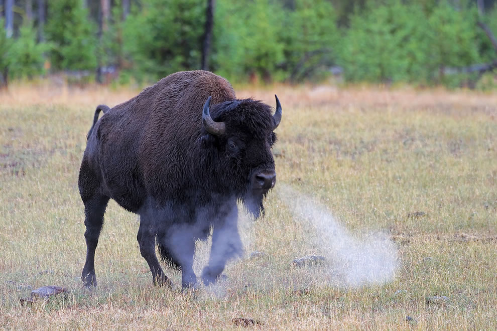 Buffalo Snort, Yellowstone National Park