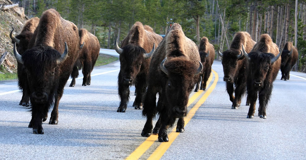 Buffalo owning the road in Yellowstone, bison hip-checking cars on road