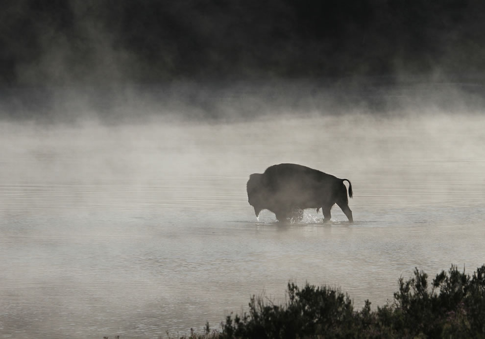 Bull bison crossing Yellowstone River