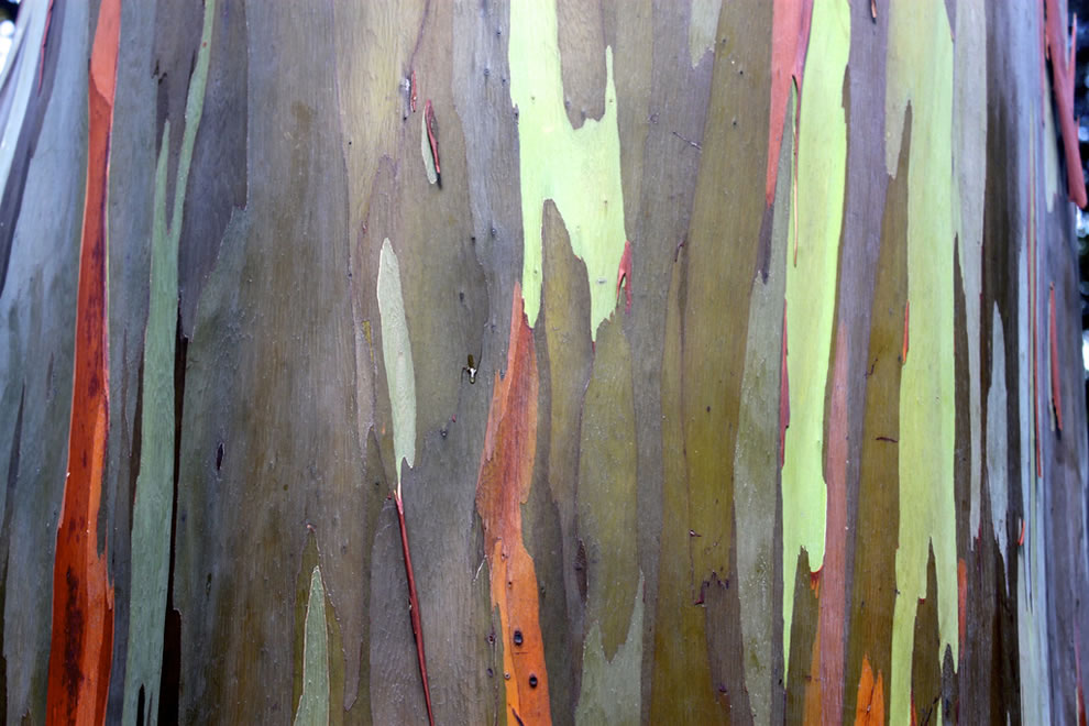 Closeup of rainbow eucalyptus taken at the 6 acre (2.4 hectares) Keʻanae Arboretum and botanical garden