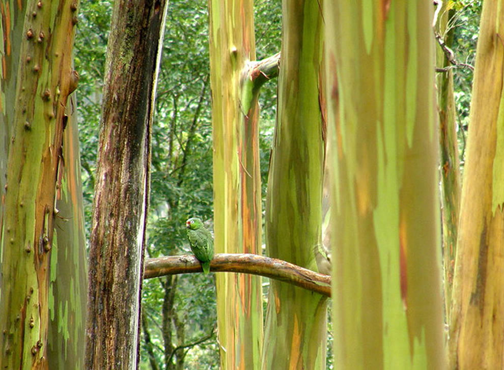 Costa Rica, parrot in the rainbow eucalyptus