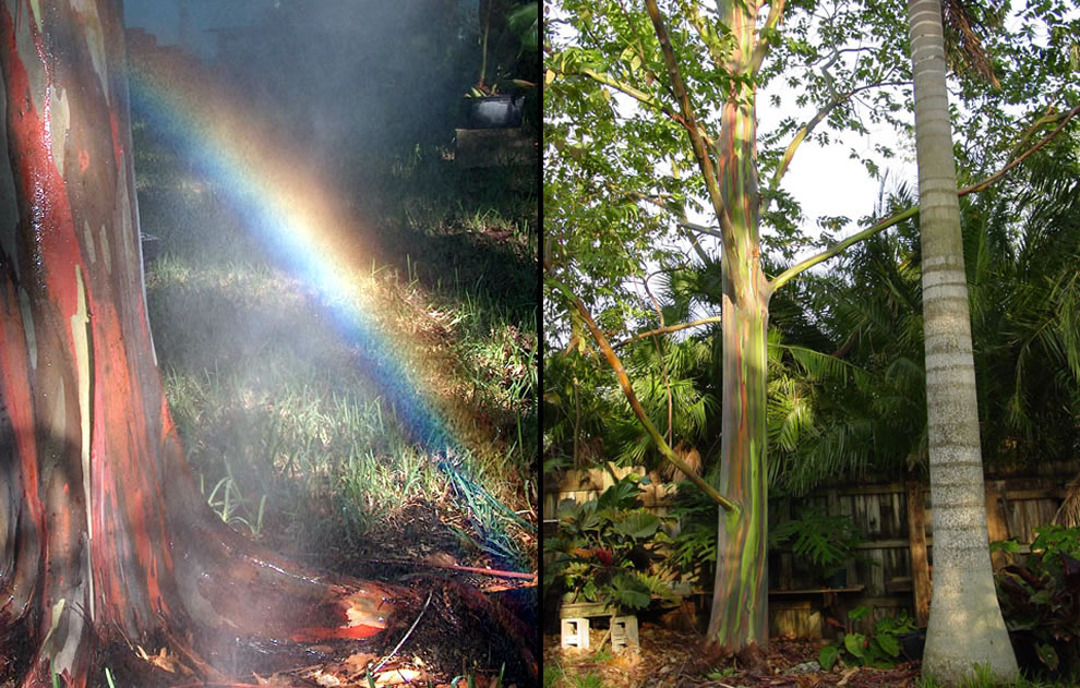 Eucalyptus deglupta is a tall tree, commonly known as the rainbow eucalyptus, Mindanao gum, or rainbow gum