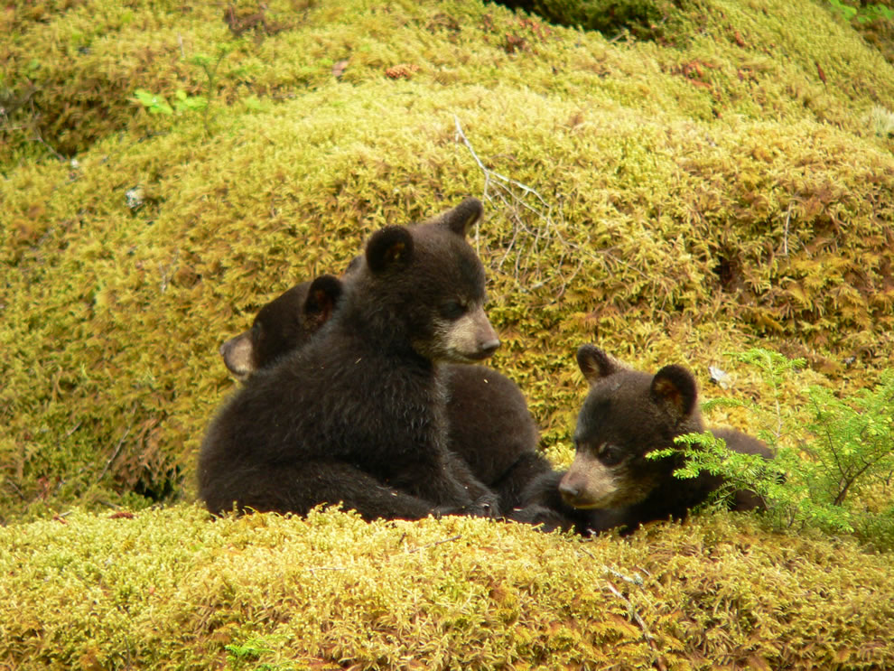 First year black bear cubs at Glacier Bay National Park and Preserve