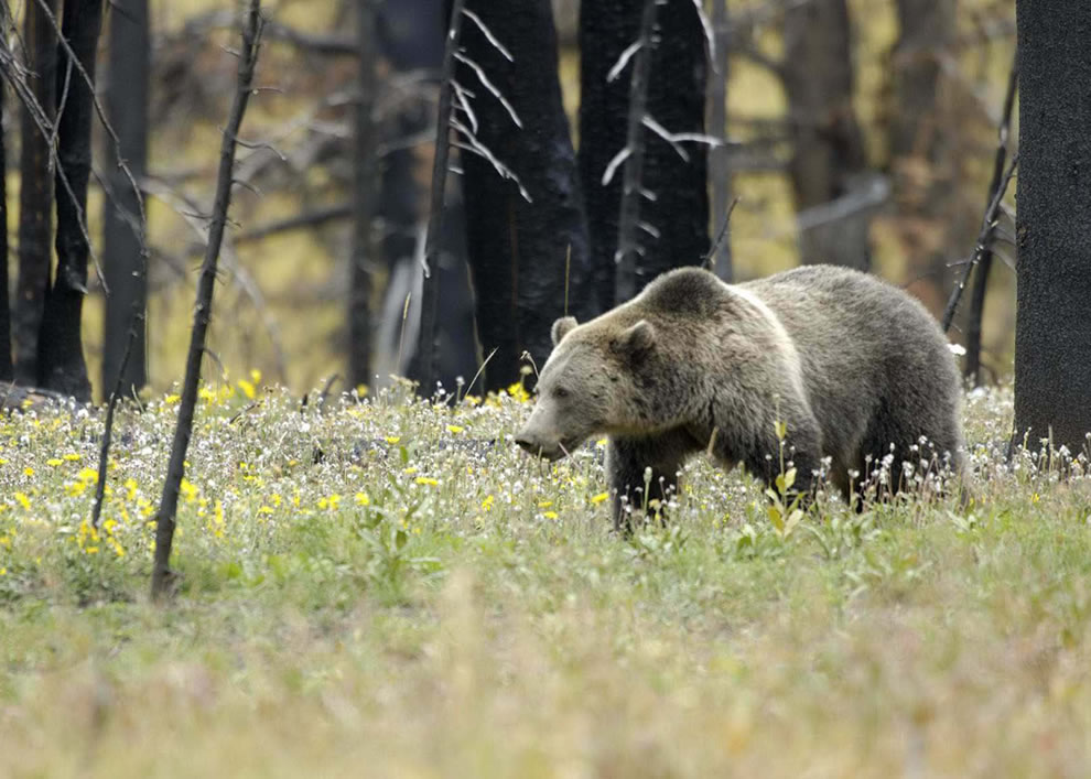 Grizzly Bear in Field at Yellowstone National Park