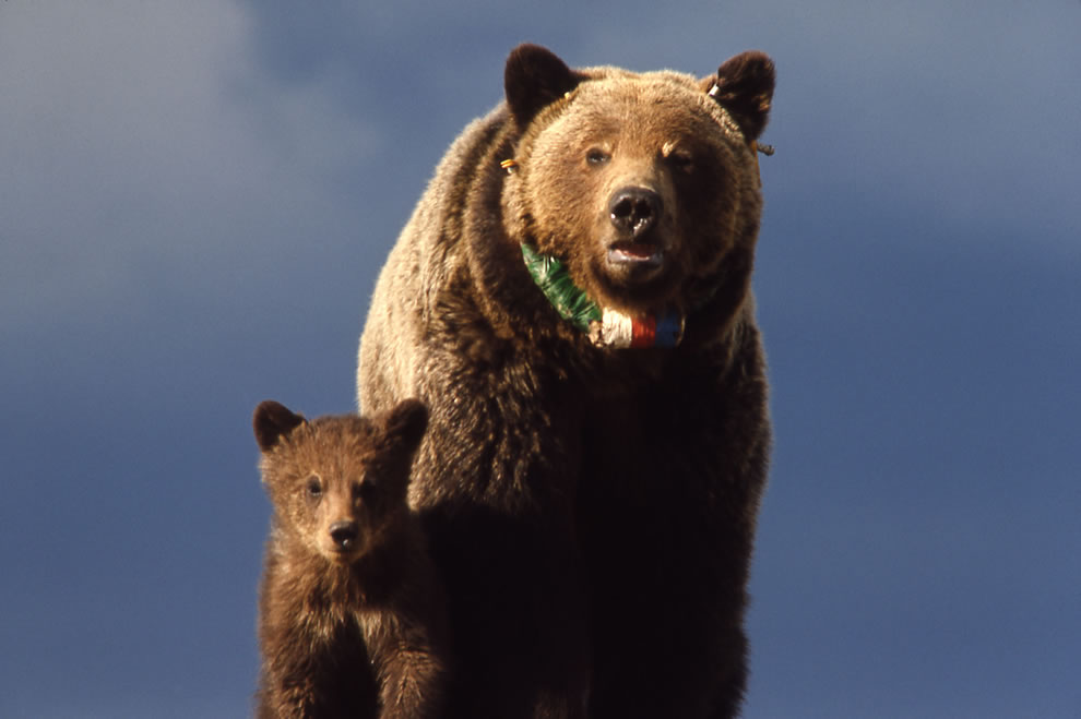 Grizzly bear sow & cub with radio neckband, Yellowstone National Park