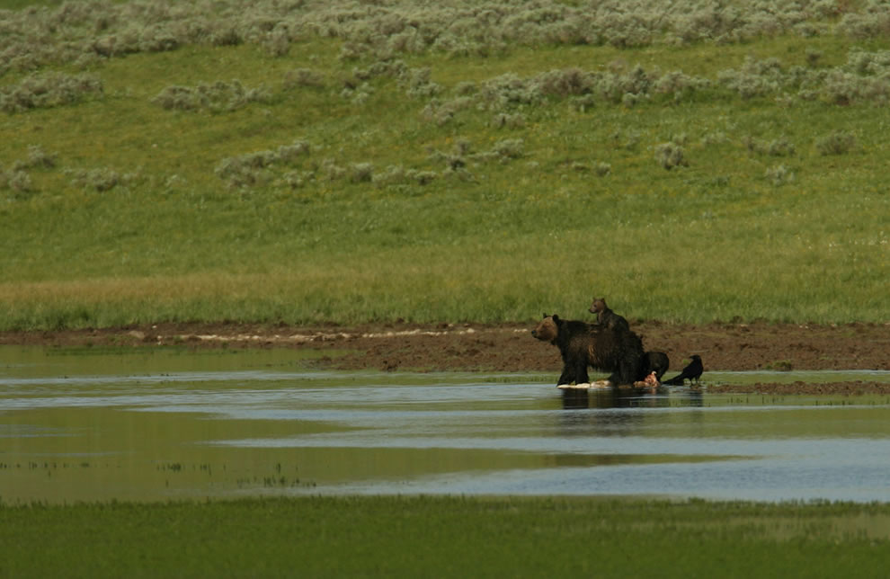 Grizzly sow with three cubs on carcass at Alum Creek