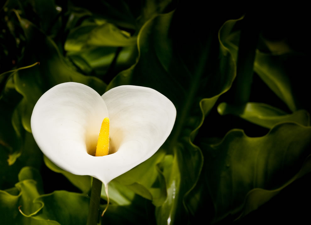 Heart, Ungilded A sentimental calla lily