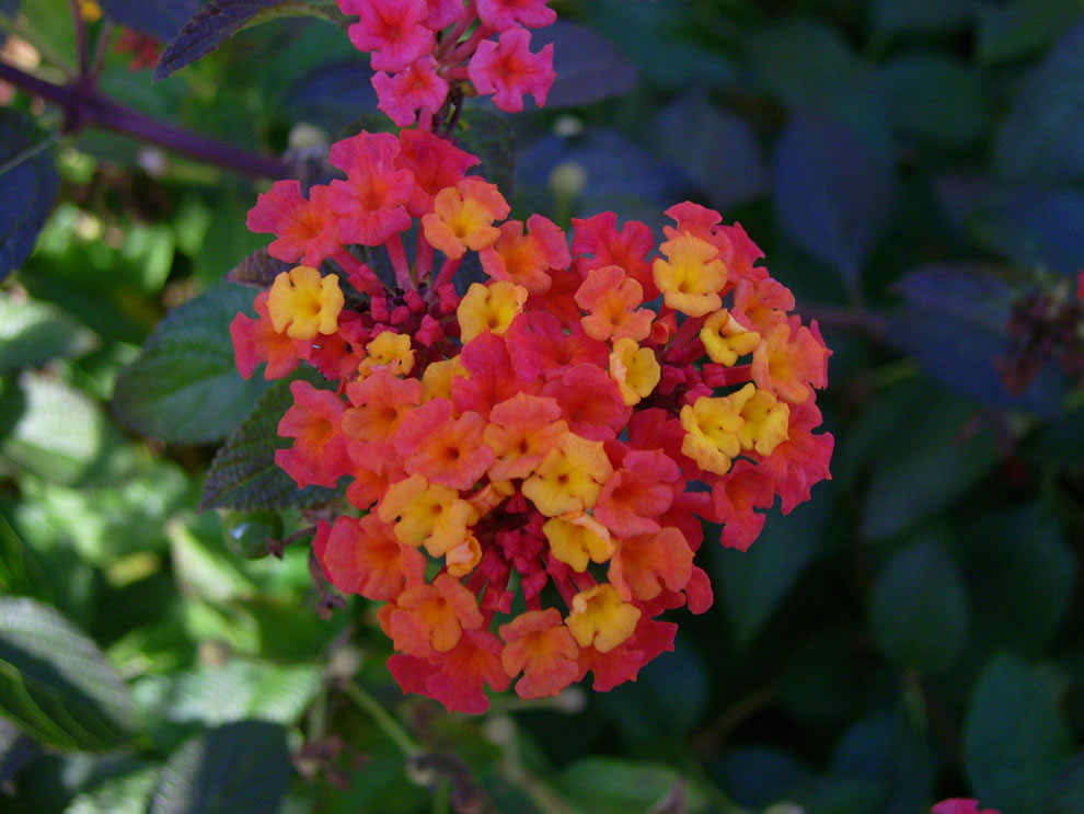 Heart shaped lantana, Spain