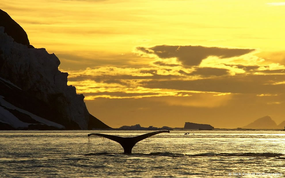 Humpback Whale Sunset