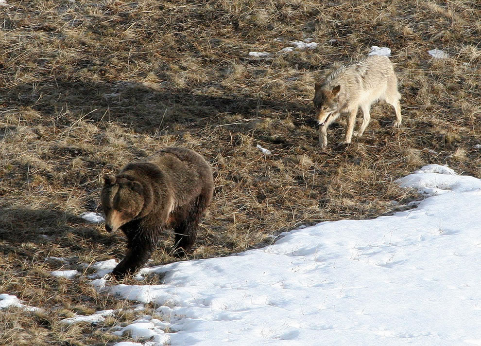 Leopold wolf following grizzly bear