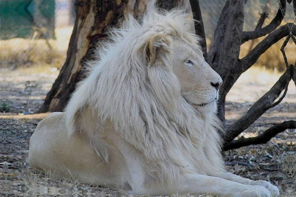 Letsatsi, the White lion, lion hybrid (Son of Temba)