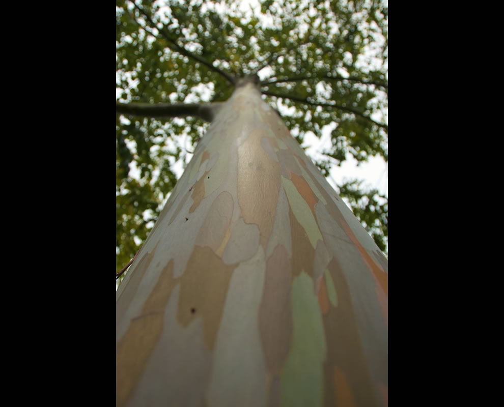 Looking up at cool bark of a Rainbow Eucalyptus tree