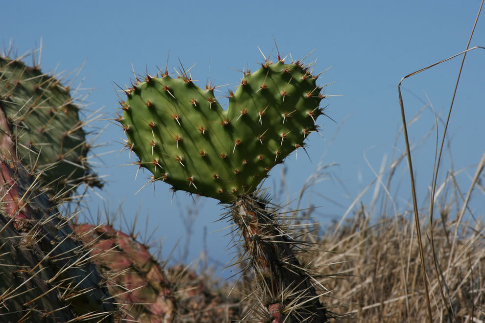 Love and pain, heart-shaped cactus in Catalina California