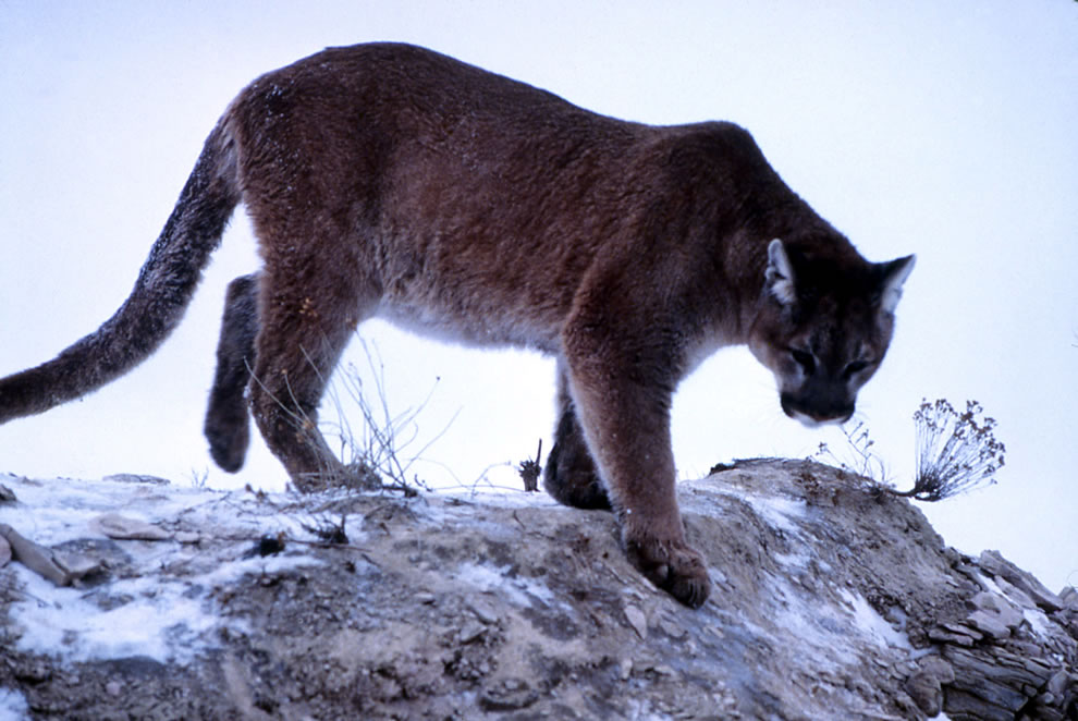 Yellowstone Mountain lion climbing down rock