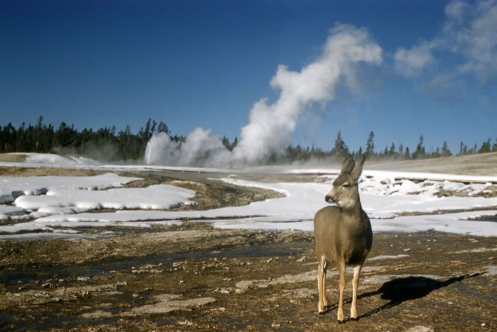 Mule deer near geyser at Yellowstone