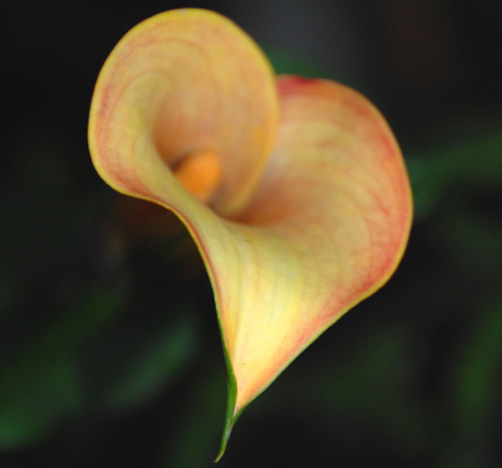 My heart goes out to you, calla lily