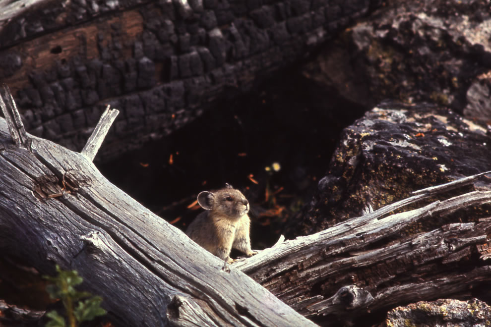 Pika in Yellowstone