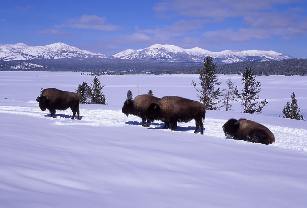 Plains bison in winter at Yellowstone National Park