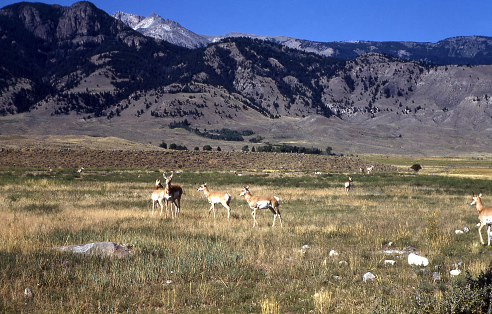 Pronghorn antelope in Gardiner, Montana Yellowstone Collection