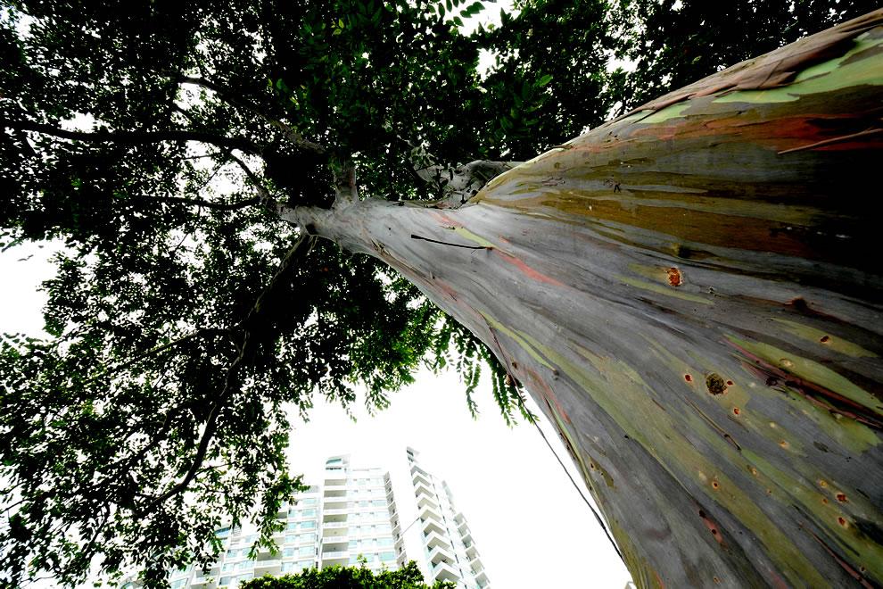 Rainbow Eucalyptus (Eucalyptus deglupta) at Katong Park